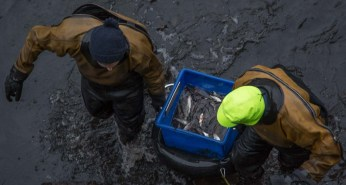 Heaving the pots of collected fish out of the drained canal...