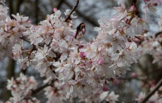Prunus (aka Cherry Blossom)