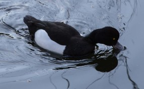 A Tufted Duck living in a separate pond.