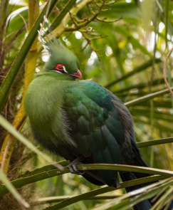 Shalow's Turaco