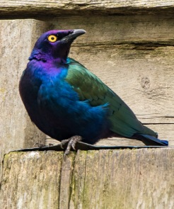 Purpal Glossy Starling